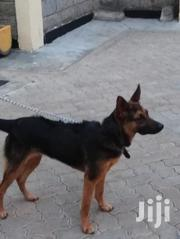 Young Female Mixed Breed German Shepherd Dog | Dogs & Puppies for sale in Nairobi, Nairobi South