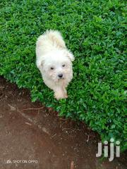Young Female Purebred Havanese | Dogs & Puppies for sale in Nairobi, Kileleshwa