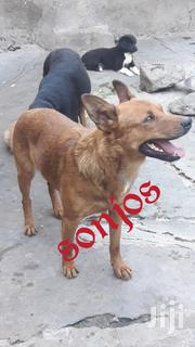 Adult Male Mixed Breed | Dogs & Puppies for sale in Nairobi, Nairobi West