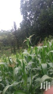 Green Maize | Feeds, Supplements & Seeds for sale in Murang'a, Kamacharia