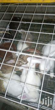 New Zealand White Rabbits For Sale | Livestock & Poultry for sale in Nairobi, Kasarani