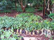 Hass Avocado Seedlings | Feeds, Supplements & Seeds for sale in Kiambu, Thika