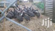 Dotted Guinea Fowls | Livestock & Poultry for sale in Nairobi, Nairobi Central