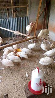 White Guinea Fowls | Livestock & Poultry for sale in Nairobi, Nairobi Central