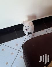Young Male Purebred Japanese Spitz | Dogs & Puppies for sale in Mombasa, Miritini