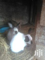 2 Bucks For Sale | Livestock & Poultry for sale in Kiambu, Karuri