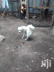 Young Female Purebred American Eskimo Dog | Dogs & Puppies for sale in Nairobi, Komarock