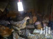 Two Months Rainbow Rooster Chicks | Livestock & Poultry for sale in Nairobi, Komarock