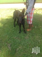 Young Male Purebred German Shepherd Dog | Dogs & Puppies for sale in Meru, Nyaki West