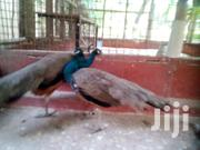 Peacock Pair | Birds for sale in Kilifi, Malindi Town