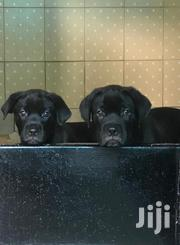 Young Female Mixed Breed Cane Corso | Dogs & Puppies for sale in Mombasa, Bamburi