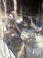 Male Turkeys For Sale | Livestock & Poultry for sale in Kiambu, Juja