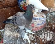 Short Beak Pigeons For Sale | Birds for sale in Murang'a, Township G