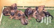 Young Female Mixed Breed Rhodesian Ridgeback | Dogs & Puppies for sale in Nairobi, Westlands