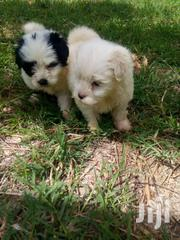 Maltese Puppies On Market Fully Vaccinated Ready For New Home | Dogs & Puppies for sale in Nairobi, Kileleshwa