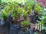 Potted Baby Croton | Garden for sale in Nairobi, Kawangware