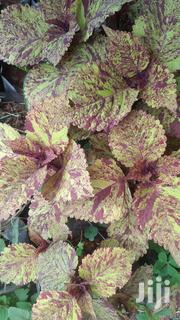 Potted Coleus Plant | Garden for sale in Nairobi, Kawangware
