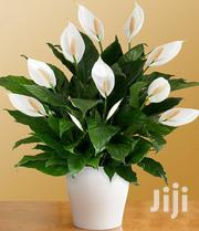 Peace Lilly | Garden for sale in Nairobi, Kawangware