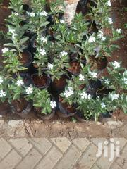 Potted Pinca Plant | Garden for sale in Nairobi, Kawangware