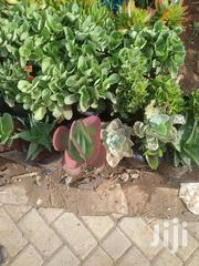 Beautiful Succulents | Garden for sale in Nairobi, Kawangware