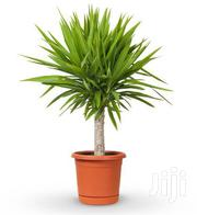 Potted Yucca Plant | Garden for sale in Nairobi, Kawangware