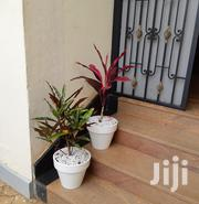 Potted Croton And Draceana Couple | Garden for sale in Nairobi, Kawangware