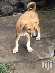 Baby Male Mixed Breed Anatolian Shepherd Dog | Dogs & Puppies for sale in Machakos, Athi River