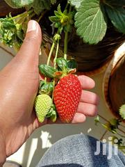 Strawberry Seedlings | Feeds, Supplements & Seeds for sale in Nairobi, Uthiru/Ruthimitu