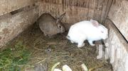 White And Brown Rabbits | Livestock & Poultry for sale in Kiambu, Thika