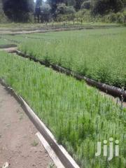 Cypress & Pine Seedlings | Meals & Drinks for sale in Kiambu, Kinale