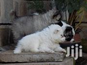 Baby Male Purebred Japanese Spitz | Dogs & Puppies for sale in Kisumu, Central Kisumu