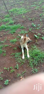 Young Female Purebred German Shepherd Dog | Dogs & Puppies for sale in Kisii, Kisii Central