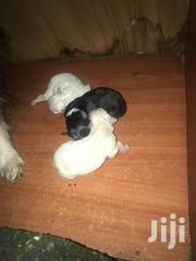 Baby Male Purebred Airedale Terrier | Dogs & Puppies for sale in Nairobi, Kariobangi South