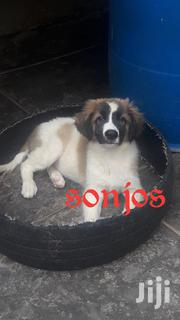 Baby Male Mixed Breed Caucasian Shepherd Dog | Dogs & Puppies for sale in Nairobi, Nairobi West