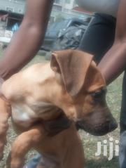 Baby Male Purebred Boerboel | Dogs & Puppies for sale in Nairobi, Embakasi