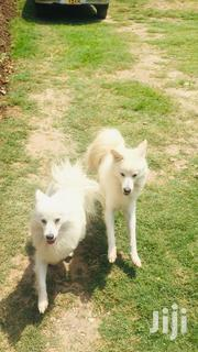 Young Male Mixed Breed Japanese Spitz | Dogs & Puppies for sale in Nairobi, Lower Savannah