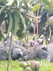 Mature Guinea Fowls | Livestock & Poultry for sale in Nairobi, Ruai