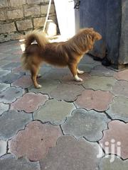 Pomeranian Japanese Spitz Mix 5 Months Old   Dogs & Puppies for sale in Nairobi, Nairobi Central