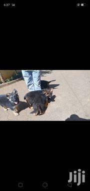 Baby Male Purebred German Shepherd Dog | Dogs & Puppies for sale in Nairobi, Westlands