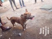 Young Male Mixed Breed American Pit Bull Terrier | Dogs & Puppies for sale in Kiambu, Juja