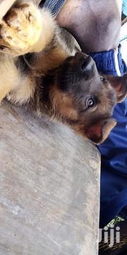 Baby Male Purebred German Shepherd Dog | Dogs & Puppies for sale in Migori, Central Sakwa (Awendo)