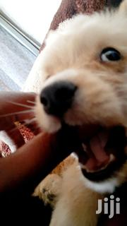 Baby Female Mixed Breed Golden Retriever | Dogs & Puppies for sale in Nairobi, Imara Daima