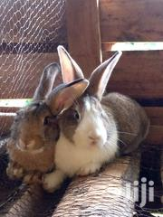 Rabbits For Sale | Livestock & Poultry for sale in Kiambu, Thika