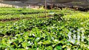 Batian Coffee Seedlings | Feeds, Supplements & Seeds for sale in Trans-Nzoia, Kitale