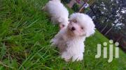 Maltese Puppies (2 Month Old) | Dogs & Puppies for sale in Kisumu, Railways
