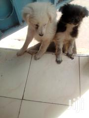 Young Male Mixed Breed Fox Terrier | Dogs & Puppies for sale in Nairobi, Harambee