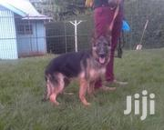 Young Female Purebred German Shepherd Dog | Dogs & Puppies for sale in Nairobi, Kitisuru
