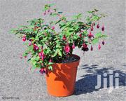 Beautiful Potted Fuschia Plant | Garden for sale in Nairobi, Kawangware