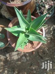 Potted Star Succulent | Garden for sale in Nairobi, Kawangware