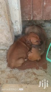 Baby Male Mixed Breed Rhodesian Ridgeback | Dogs & Puppies for sale in Mombasa, Likoni